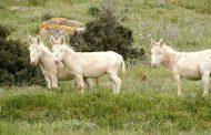 Cornacchia news: L'isola degli asini...bianchi  (di Alba Rosa Galleri)