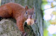 Il personaggio del giorno: lo scoiattolo mannaro (di Cosimo Filigheddu)