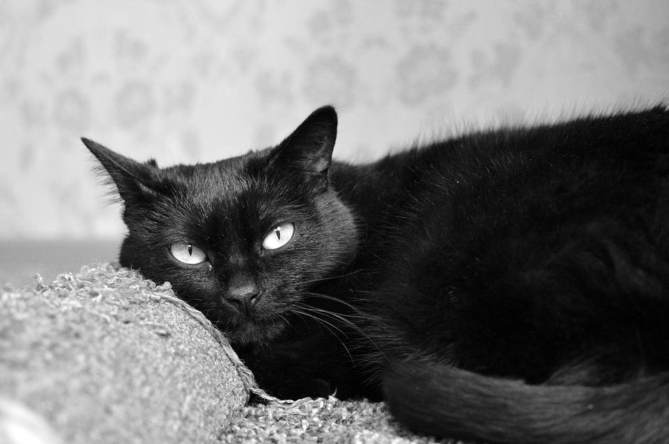 Il gatto nero (di Paola Mussinano)