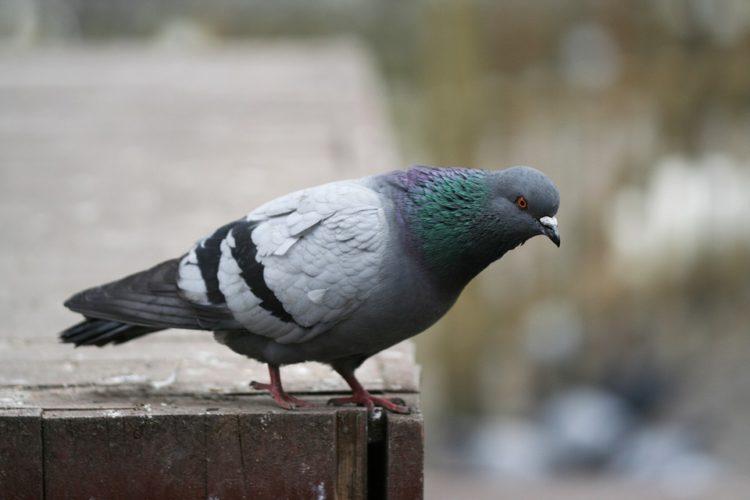 Il piccione, il ministro e la suora (di Cosimo Filigheddu)