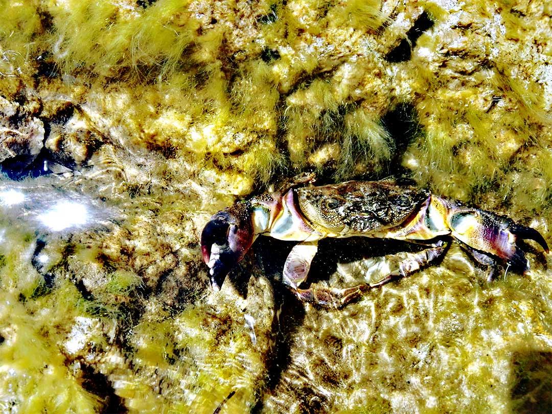 crabs sardinia