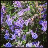 Hat seinen Namen vom Tau (lat. ros) des Meeres (marinus): Rosmarinus officinalis - Wilder Rosmarin in voller Blüte
