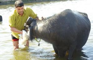milk feeding cattle