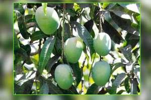 mango-farming