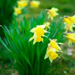 spring daffodils on relatives grave