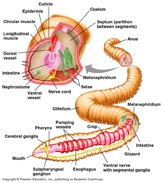 Image result for anatomy of earthworm