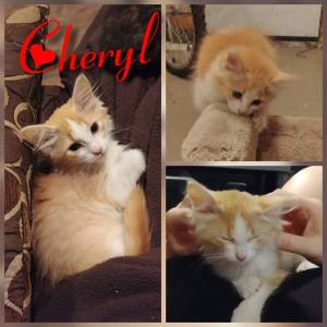Cheryl - an orange and white tabby up for adoption