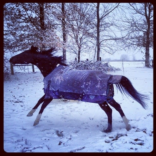 Arabian Horseplay