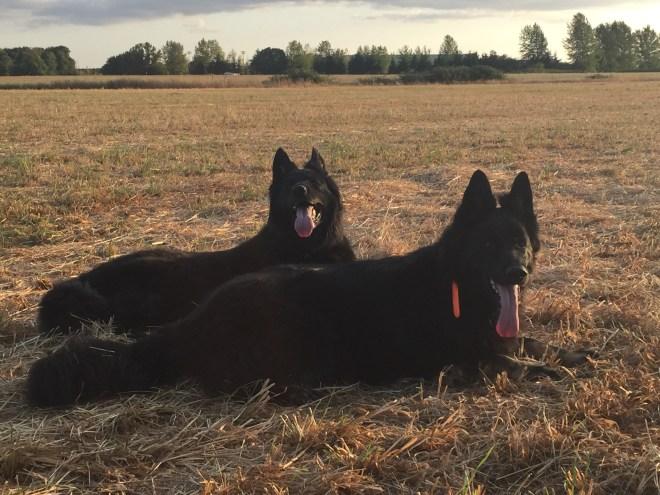 German Shepherd Dogs Sunset Field