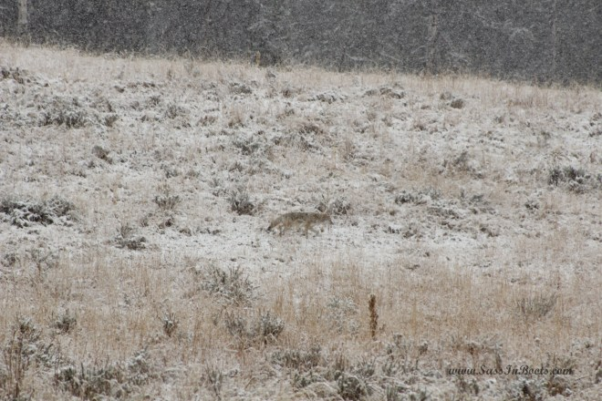 coyote-in-snow-yellowstone-national-park