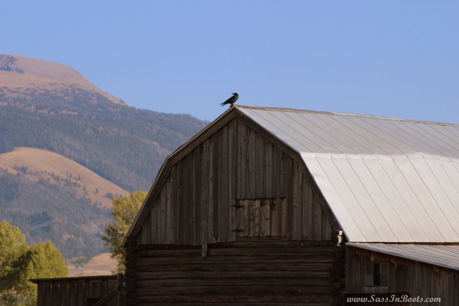 mormon-row-crow-on-barn-wyoming