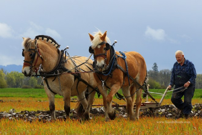 Fjord and Haflinger Two Horse Plow Team