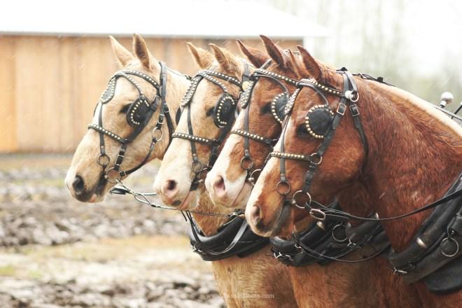 4 Horse Plow Team