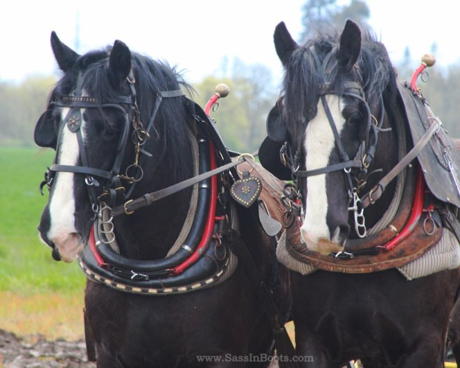 Percheron Plow Horses