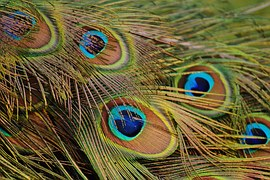 peacock-feathers-1312509__180