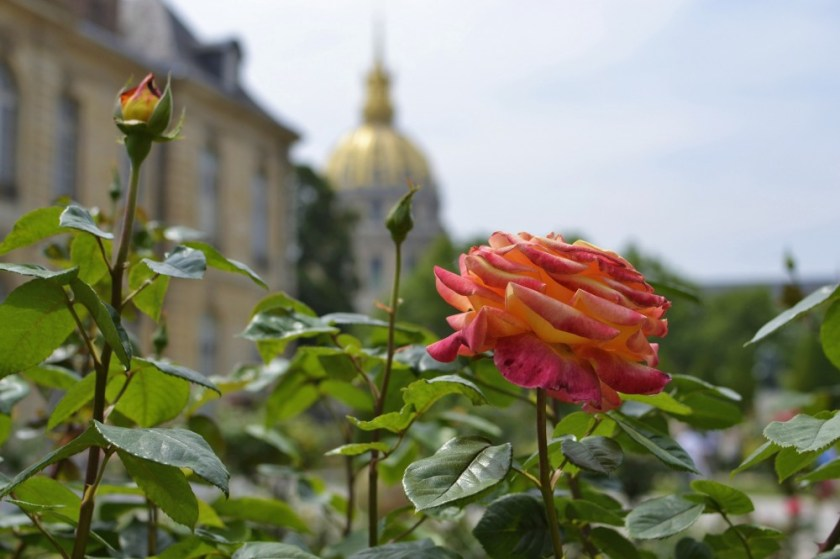 A rose at the gardens of Musée Rodin, Paris, France
