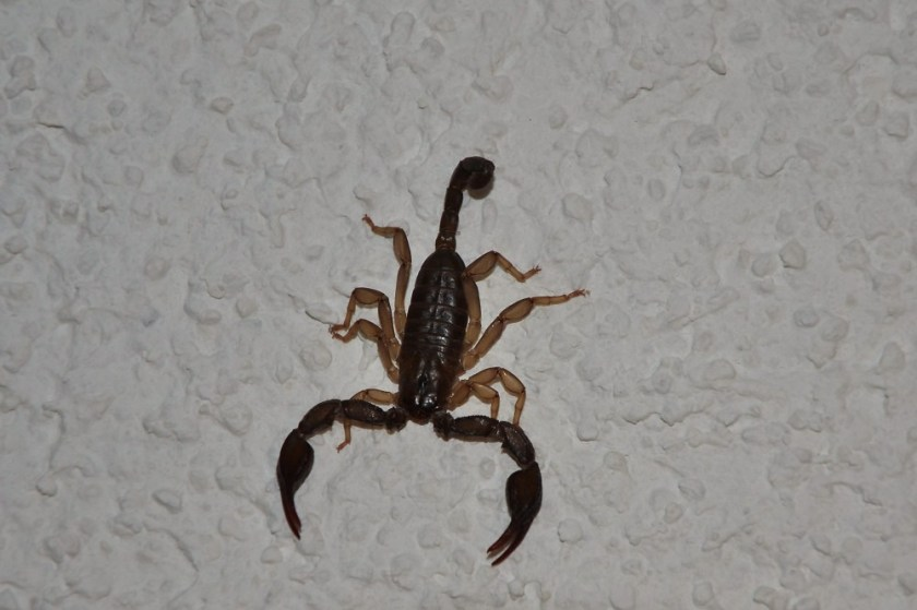 Scorpion, Krk, Croatia