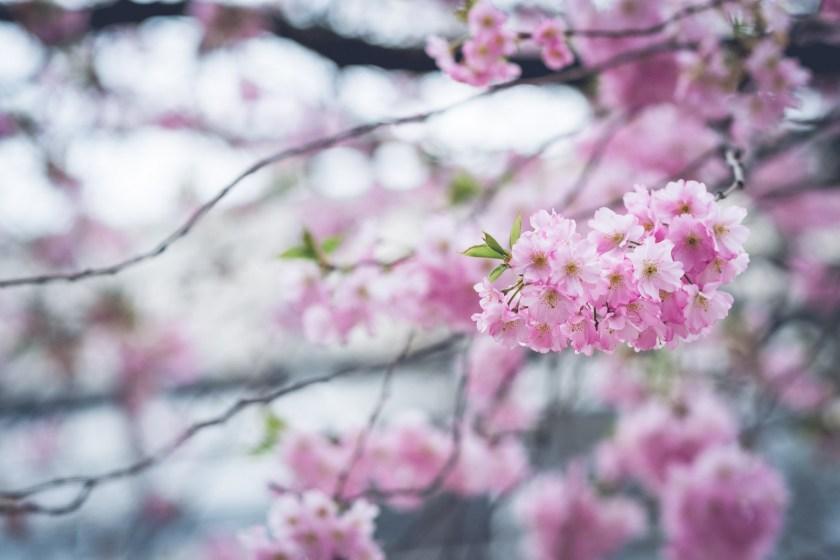 April blossoms in Göttingen, Germany
