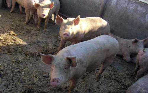 Porcii sătmăreni nu scapă de boli