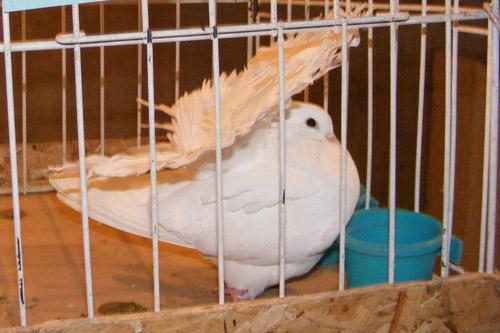 Expoziție Internațională de porumbei, găini, iepuri și păsări exotice la Carei