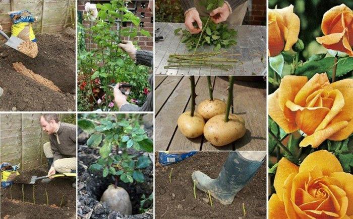 Cum să cultivi trandafirii