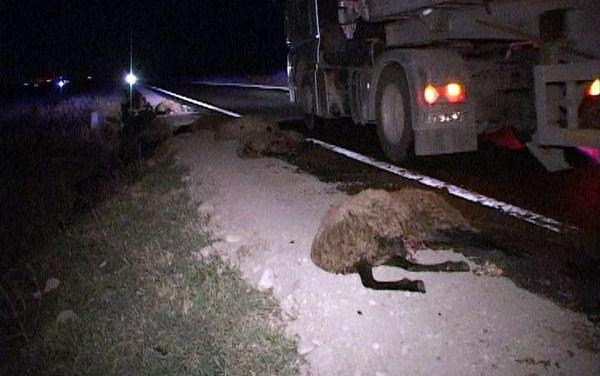 Măcel pe șosea. Zeci de oi ucise de un șofer