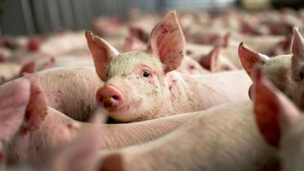 3 crescători de porci sancționați cu avertisment de către DSVSA