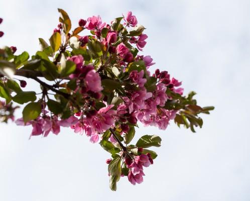 Omenapuut kukassa-10