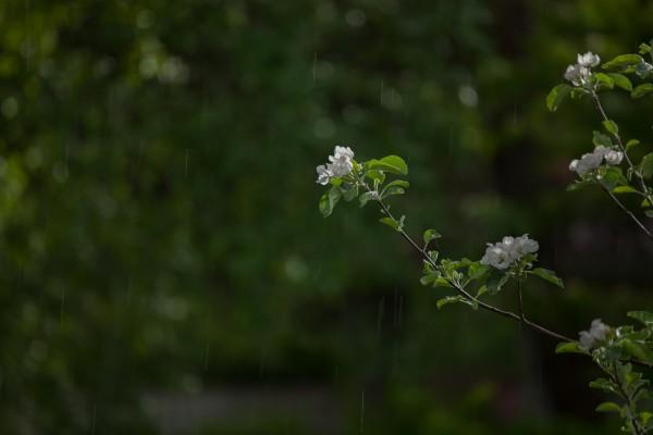 Omenapuut kukassa-12