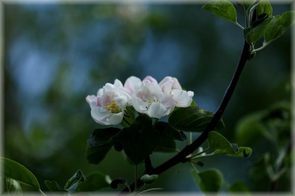 Omenapuut kukassa-2 copy
