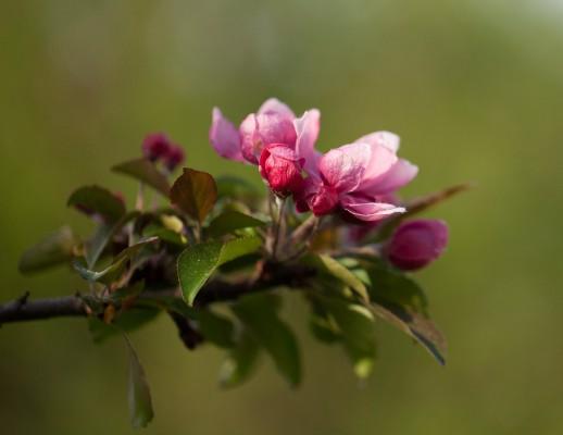Omenapuut kukassa-5