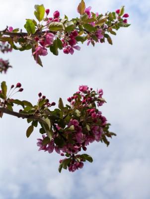 Omenapuut kukassa-9