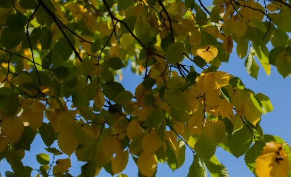 keltaiset lehdet-9