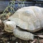 George ~ Sonoran Desert Tortoise