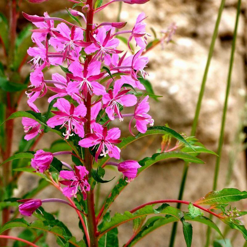 Willow Herb (Epilobium)