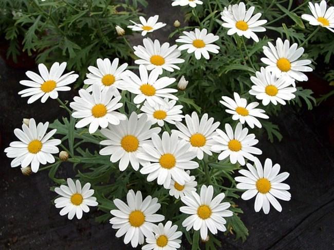 Argyranthemum_frutescens