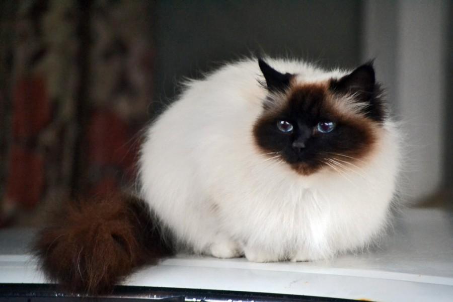 jenis jenis kucing peliharaan