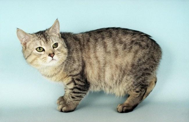 jenis kucing hias