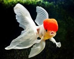 12 Jenis Ikan Mas Koki Ini Dapat Kamu Pelihara di Akuarium