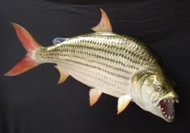 2 Jenis Ikan Hias Predator Menjadi Idola saat ini