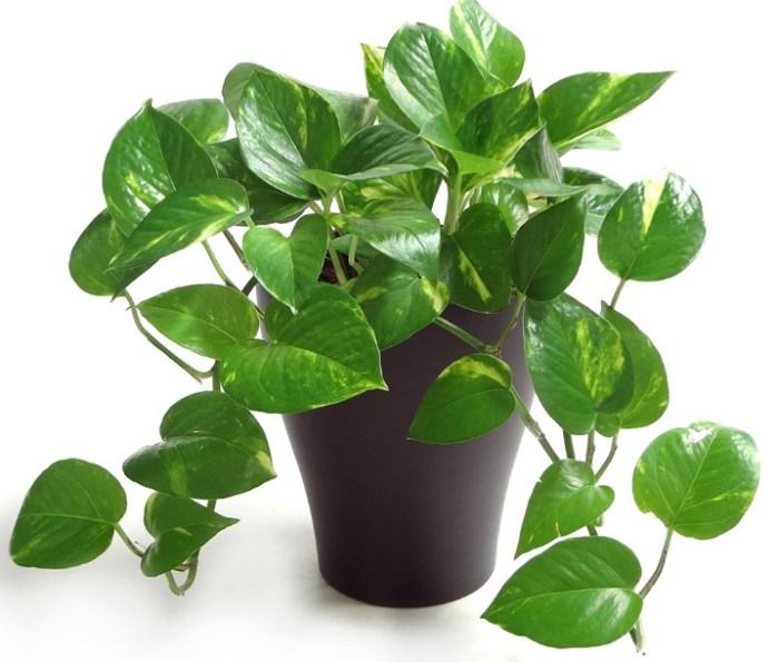 jenis tanaman hias sirih gading