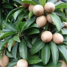 Sofeda Fruit Plant