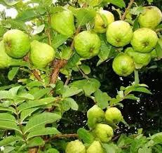 Guava Plant Thai