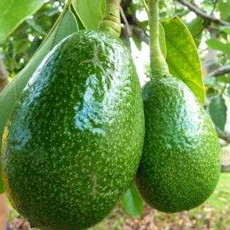 Avokado fruit plant
