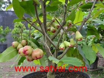 Thai Jamrul Plant