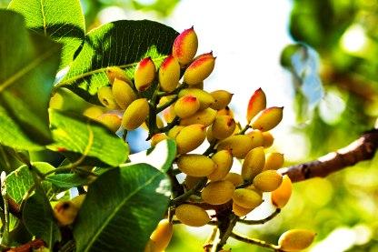 Pesta Badam Plant - spice