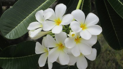 Plumeria White