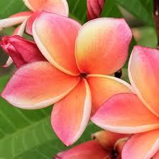 Plumeria pink (kath golap)