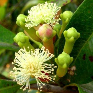 Lobongo Plant Indian
