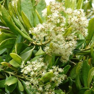 Allspice Tree Plant
